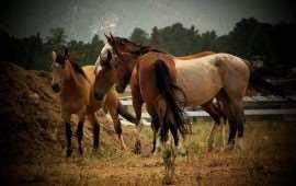 RodeoHorses