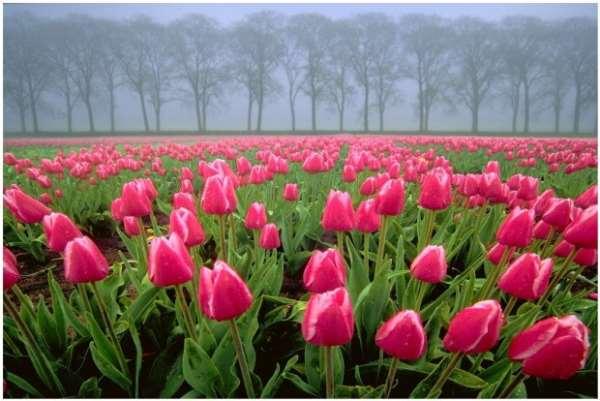 Царство тюльпанов