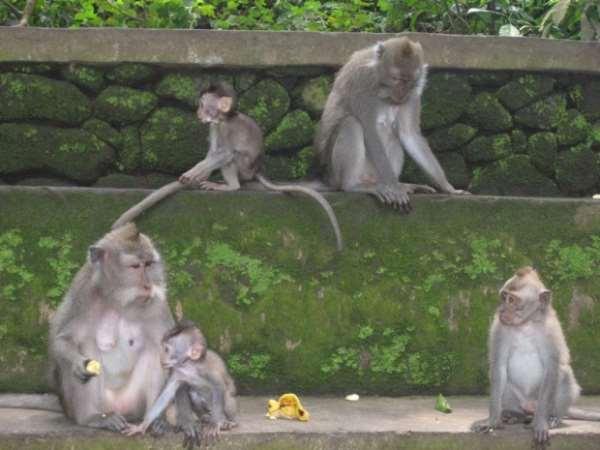 В Индонезию. Боевые обезьяны