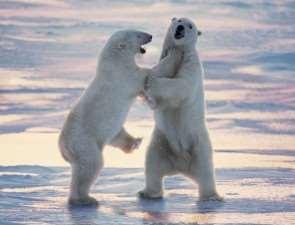 Мировая столица полярных медведей