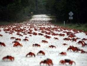 Остров Рождества. Миграция крабов