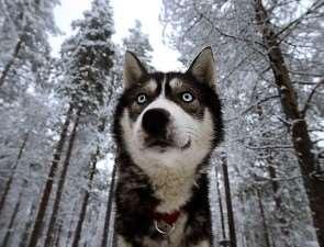 Финское отношение к собакам