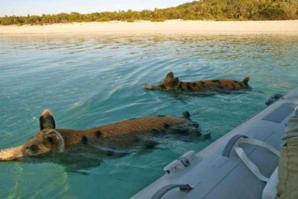 свиньи в море