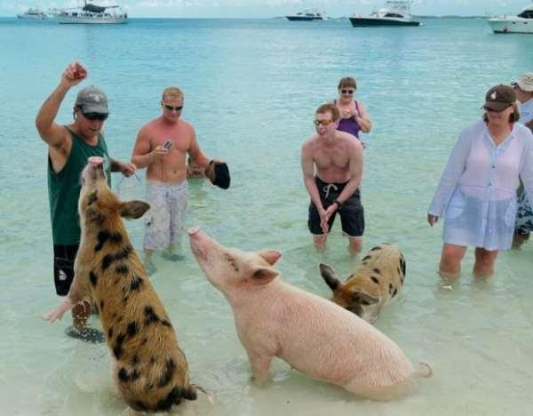 свиньи в воде