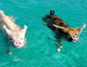 свинки на багамах