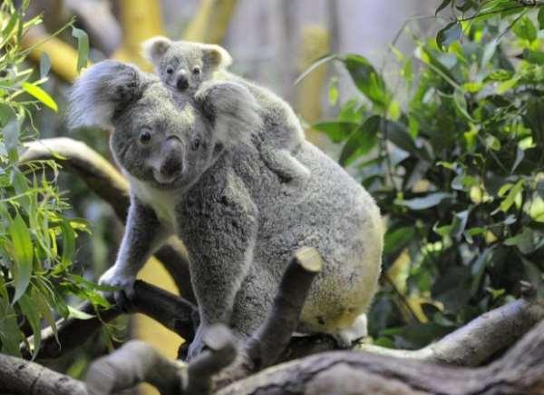 австралия коалы