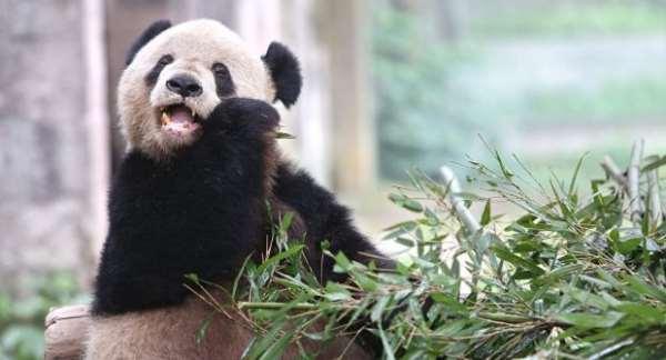 панда пекин