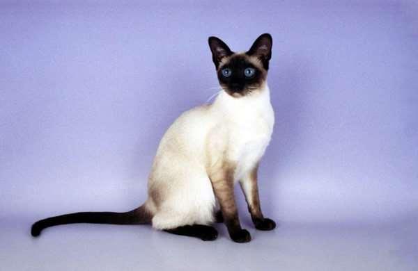 Чем сиамские кошки отличаются от всех других?