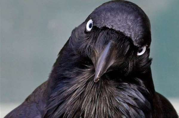 Пять фактов про ворон, о которых вы не знали