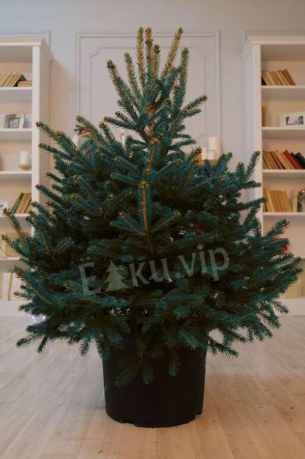 Ёлки.vip – лучший оптовый поставщик елок и пихт в Санкт-Петербурге